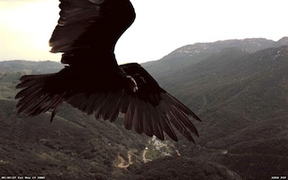 Bird of prey soaring over river gorge