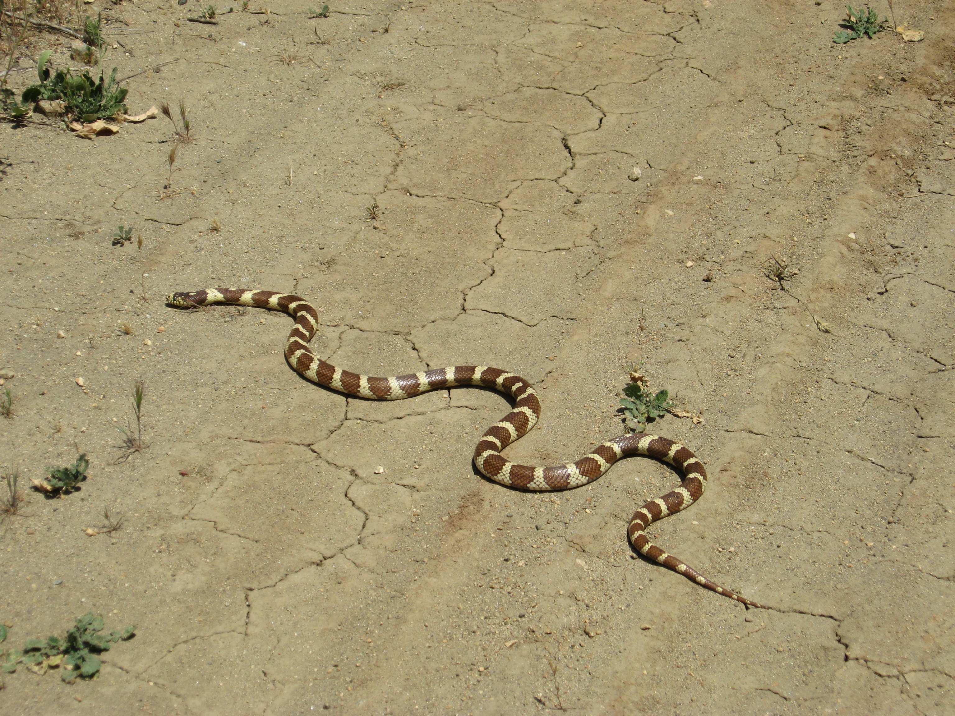 Striped snake on flat, brown surface