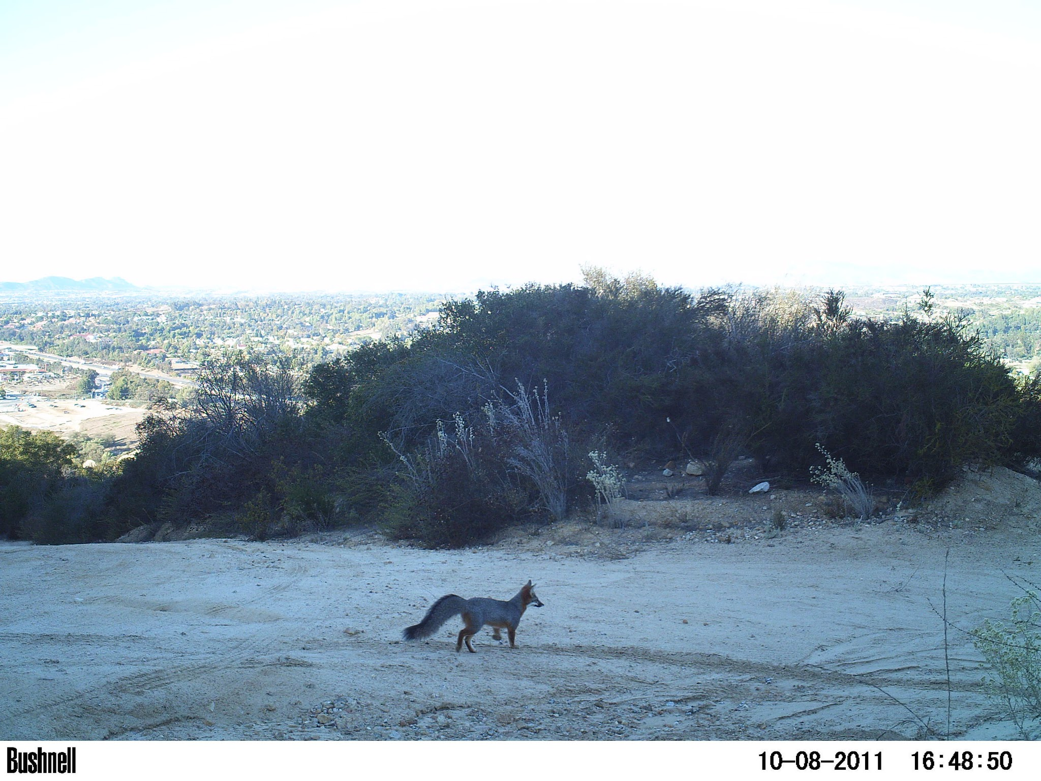 Fox with fluffy tail in a flat area, shrubs in background, city in extreme background