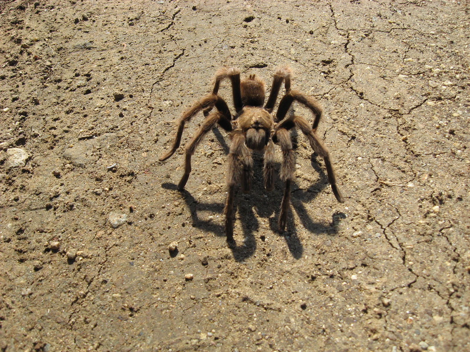 Tarantula on dry soil