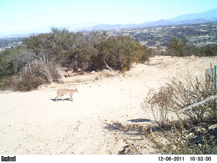 Bobcat on a trail, lined with shrubs, city in distance