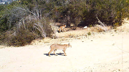Bobcat on trail, another one in shrubs in background