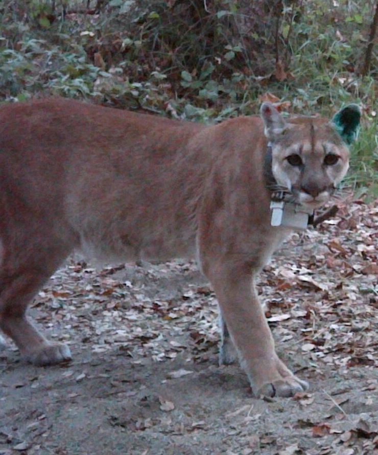 Close-up of mountain lion with radio collar