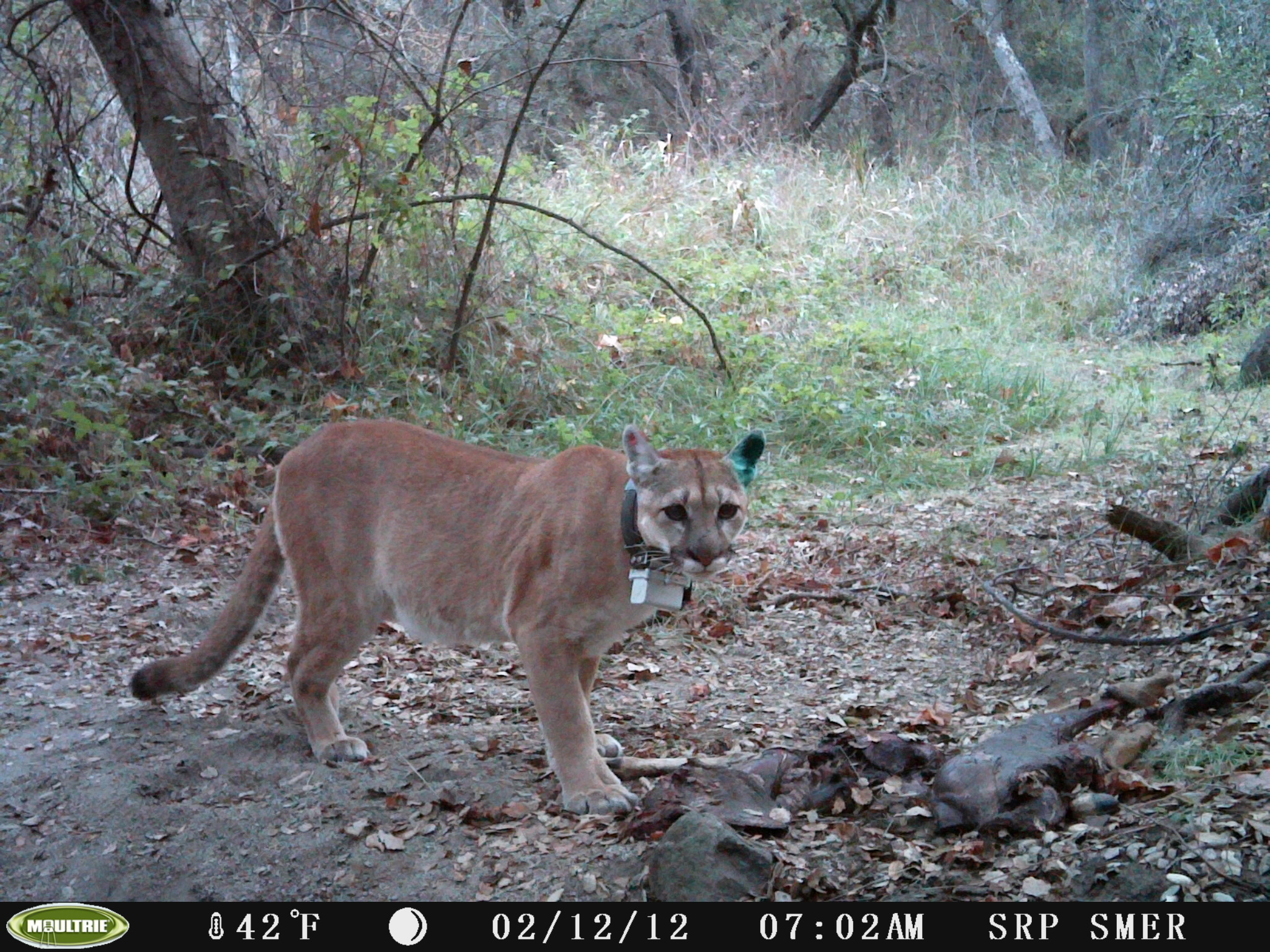 Mountain lion with radio collar on a trail