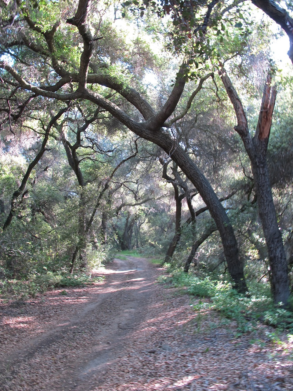 unpaved road with corridor of trees arching over
