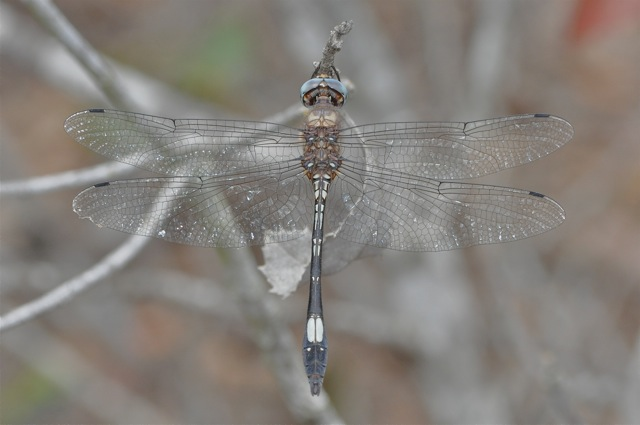 Gray dragonfly