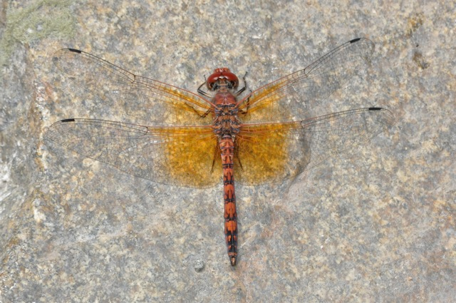 Striped orange and red dragonfly