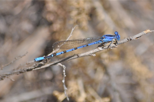 blue dragonfly with brown stripes