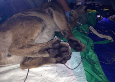 Tranquilized mountain lion, view of hind paws