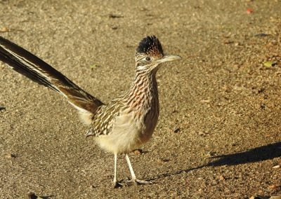 Greater Roadrunner standing in dirt area