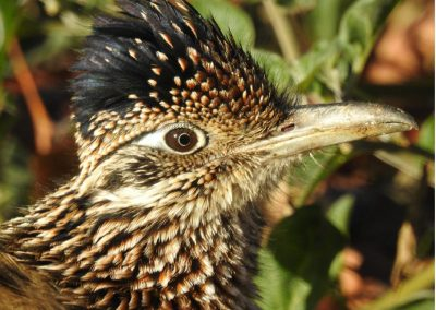 facial profile of a Greater Roadrunner
