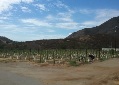 Diagonal view of multiple rows of grapevines, a female figure stoops in front of a plant, hills and mostly clear sky in background