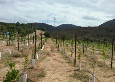Parallel rows of grape vines, powerline above, hills in background