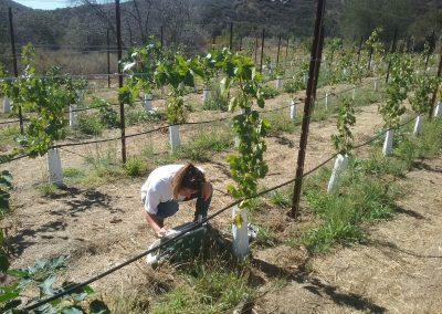 Female scientist crouches over an instrument in a vineyard