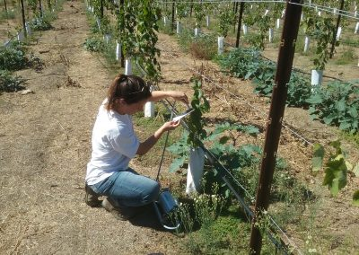 Female scientist holds a device against a leaf in a vineyard
