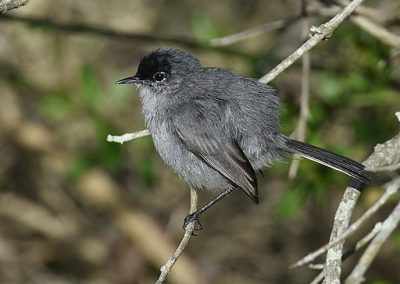gray bird with black crown