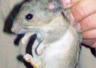 Closeup of a desert woodrat held by the scruff of its neck