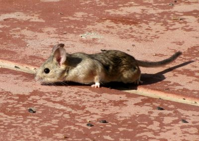 desert rat eating seeds on a red tile surface