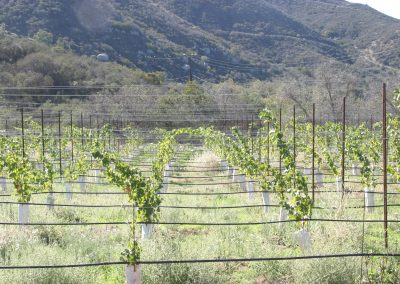 Vineyard with orderly rows of grape vines on trellises, hillside in background