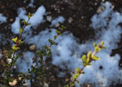 close-up of sev eral branches, out-of-focus snow on ground below