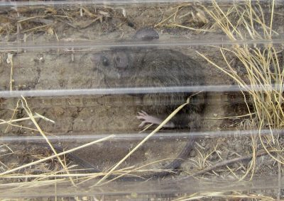 A kangaroo rat under a clear plastic sheet