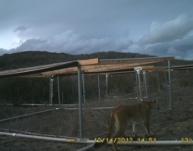 mountain lion walking in front of wooden structure