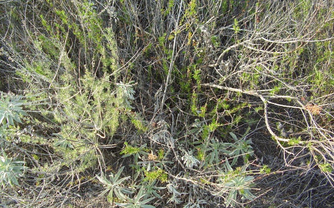 Differential responses of native and exotic coastal sage scrub plant species to N additions and the soil microbial community