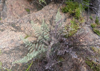 A gray fern growing among light-colored rocks