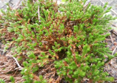 close-up of a spikemoss