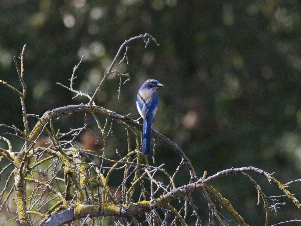 blue bird on dry branch